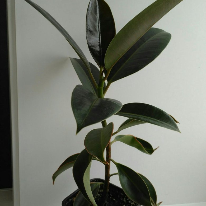 Фикус мелани фото взрослого растения