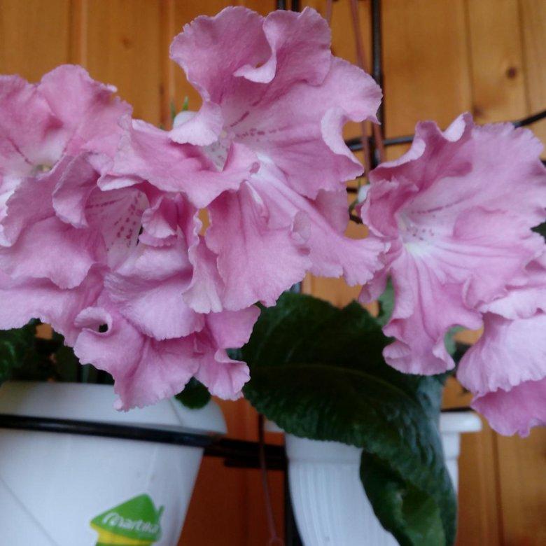 Купить цветы на авито в москве стрептокарпус и махровые фиалки