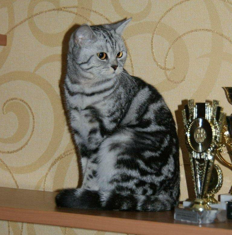 котята черный мрамор на серебре фото мать вторично