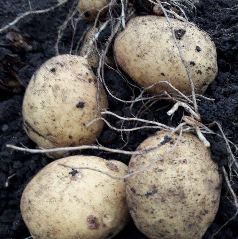 Картофель сарма описание сорта фото оборудованные