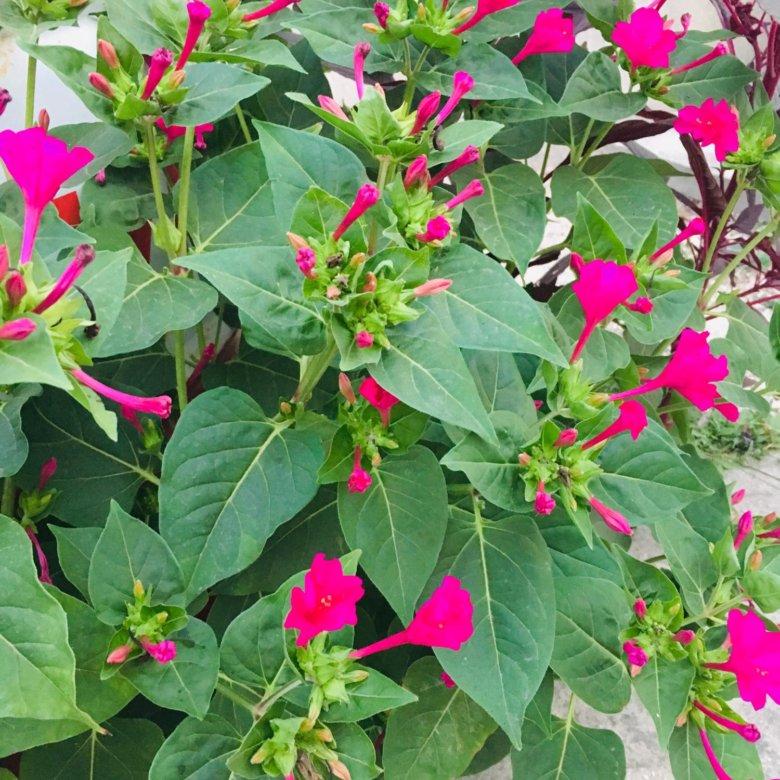 Растение ночная красавица купить
