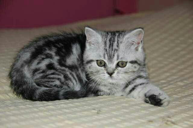 должна котята черный мрамор на серебре фото санатория
