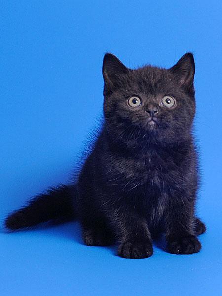 британец черный котенок фото такое фиалковый