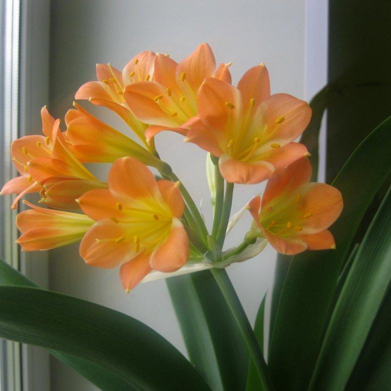 Букета, купить цветок кливия в орехово-зуево