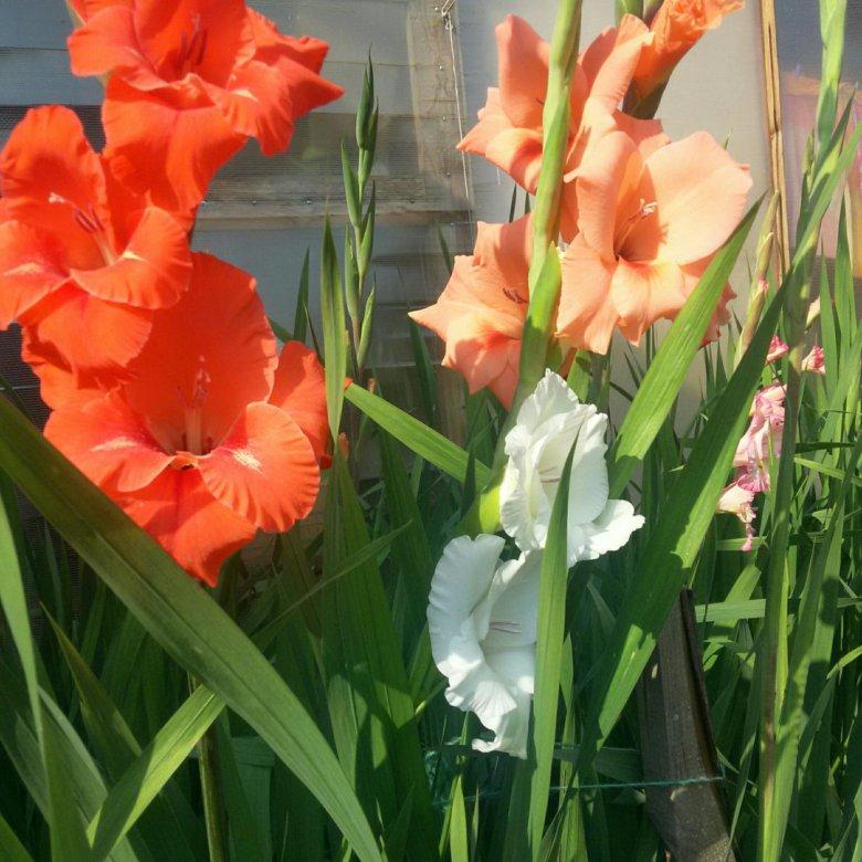 Для, где купить цветы гладиолусы в самаре