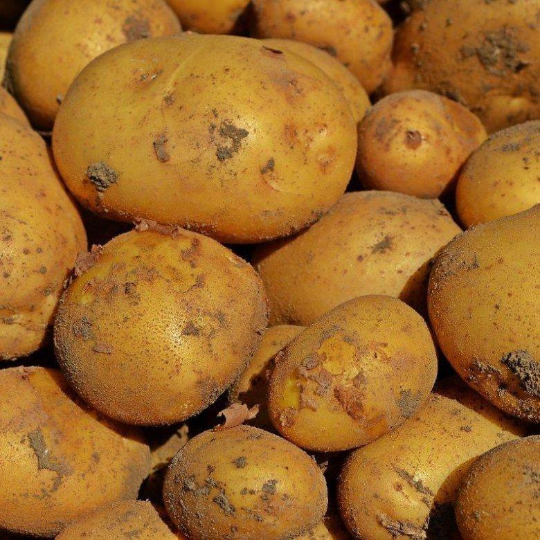 прощения, гала картофель крупное фото тульском ритуальном