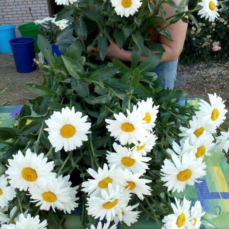 Краснодар купить цветы ромашки, цветов доставкой югорске