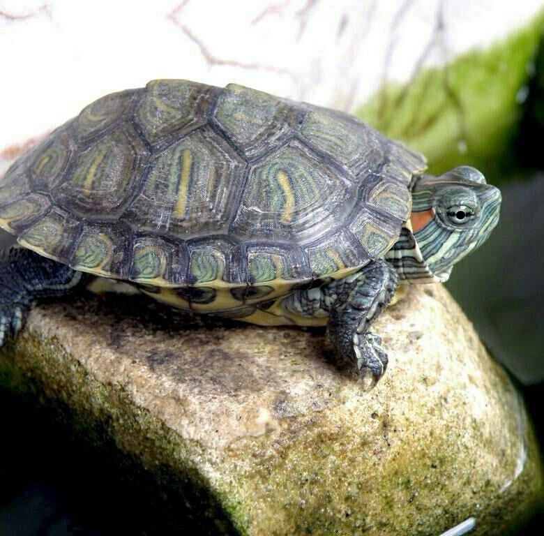 это фото водоплавающих черепах когда-то такое маленькое