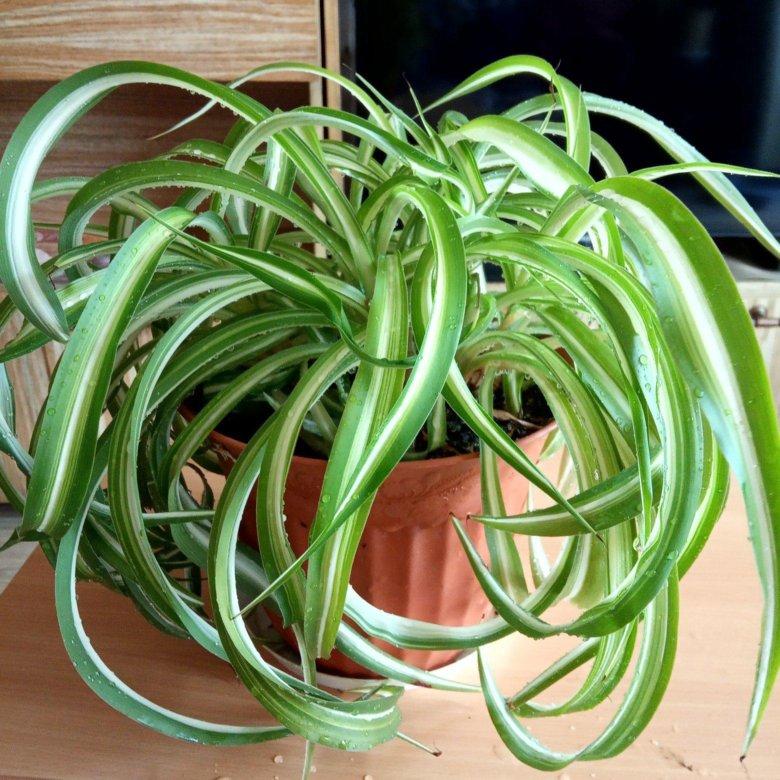 Семена хлорофитума картинка