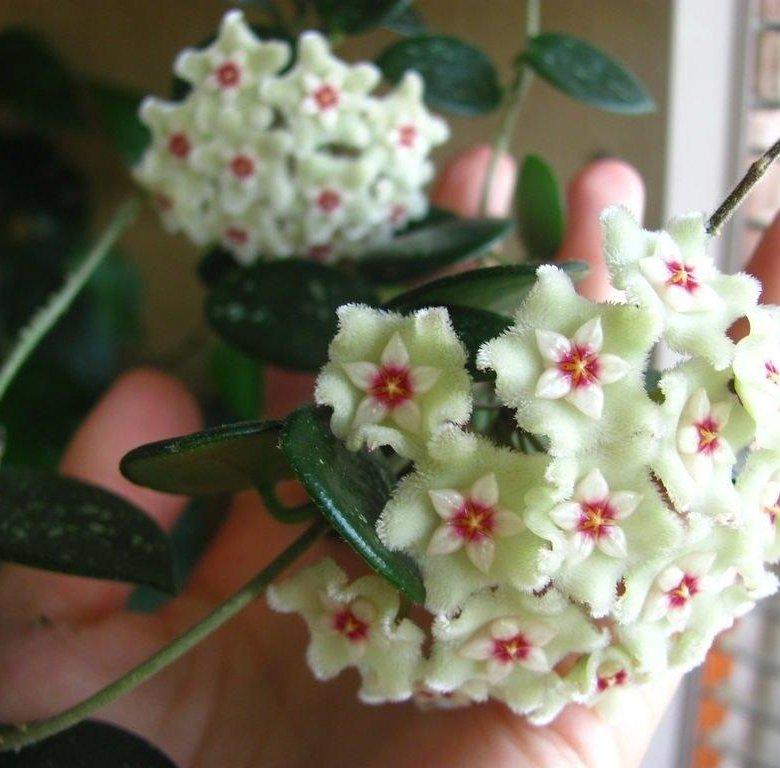 Купить цветы хойи в москве