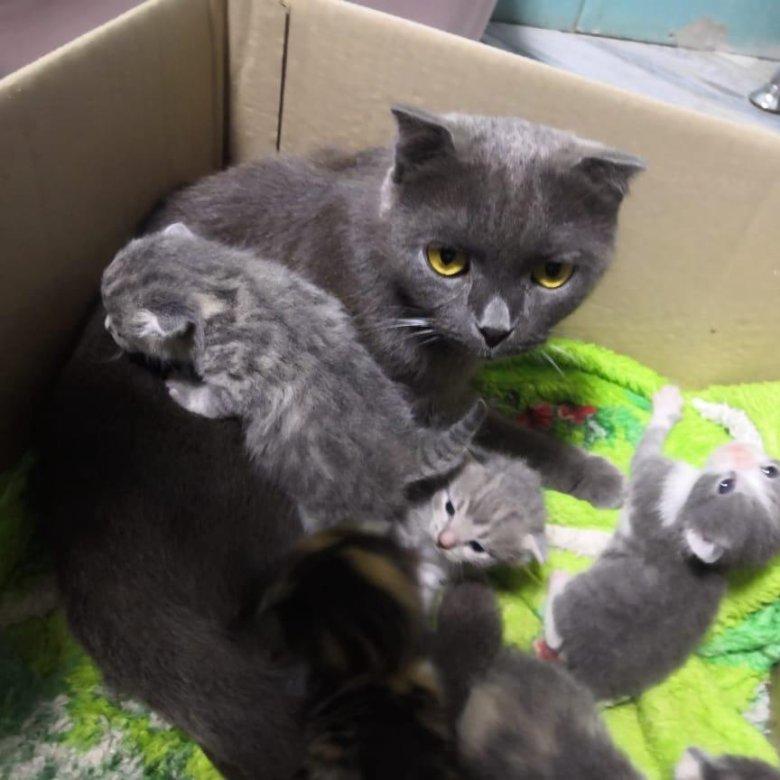 бриошь котята помесь британца и шотландца фото барнауле