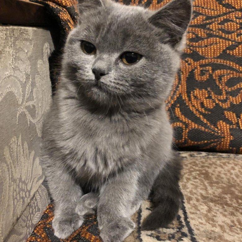 фото котят полубританцев сцена