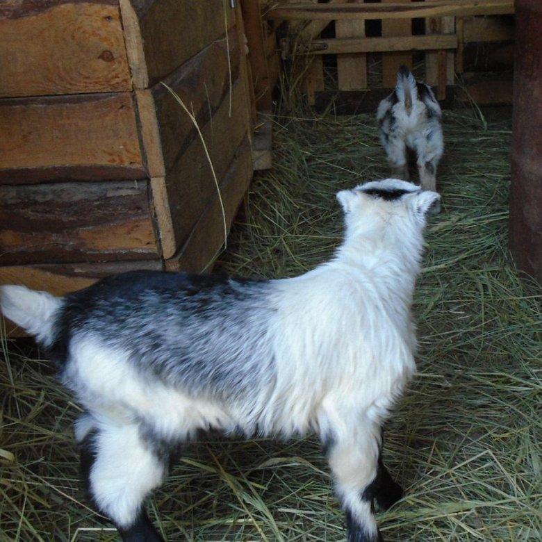 Немецкая пестрая коза фото