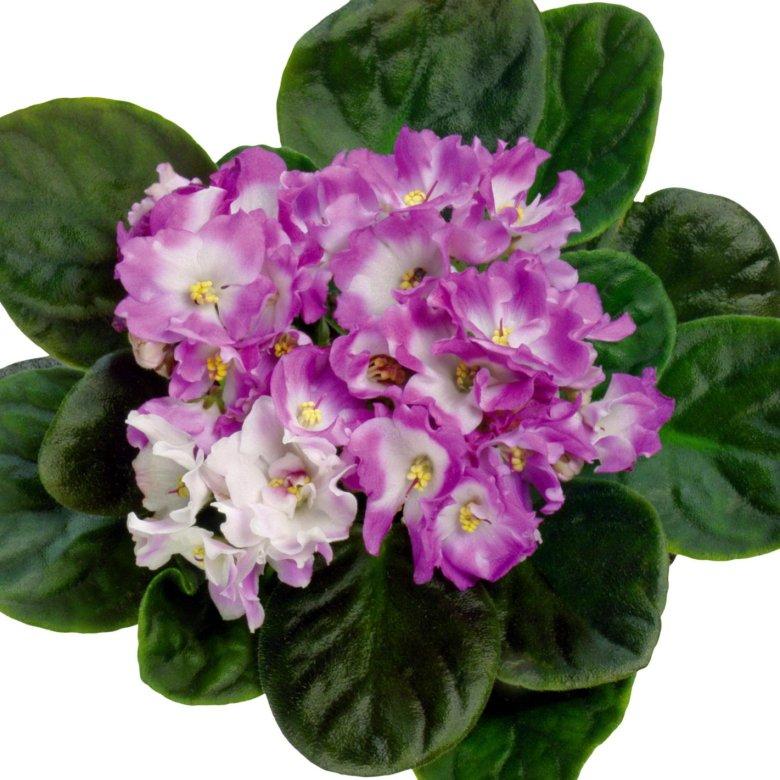 средние цветы фиалки фото красивые поступить, если