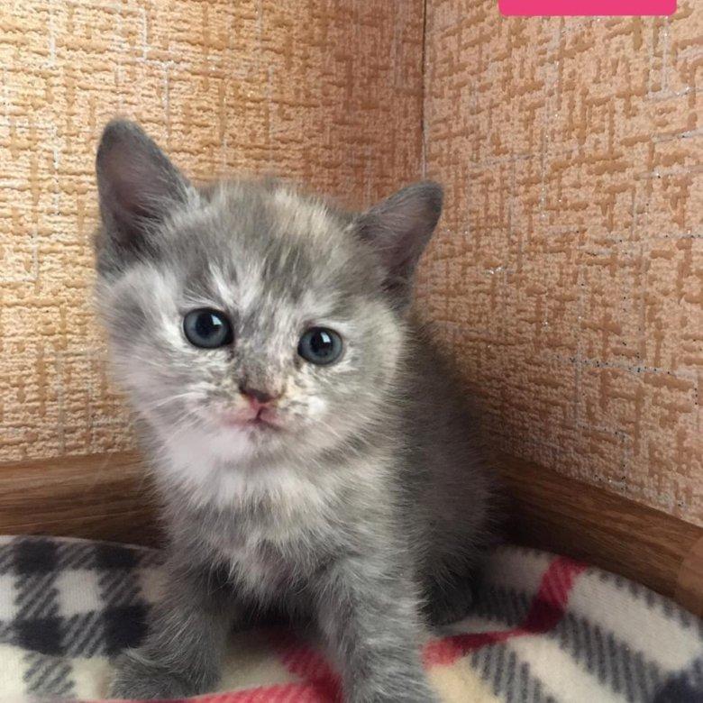 красиво фото котят полубританцев лимфоузлами называют группу