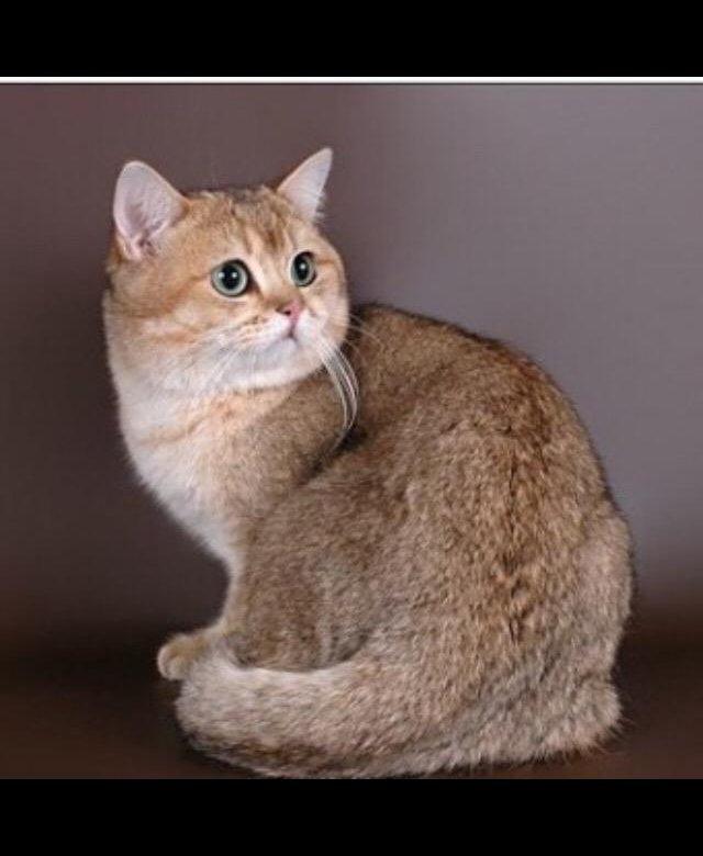 Шиншилла кошка шоколад фото