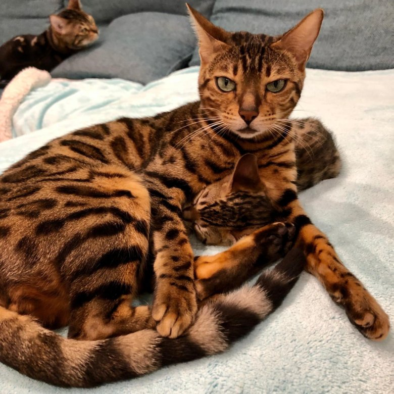 фото истощенной бенгальской кошки вот тот