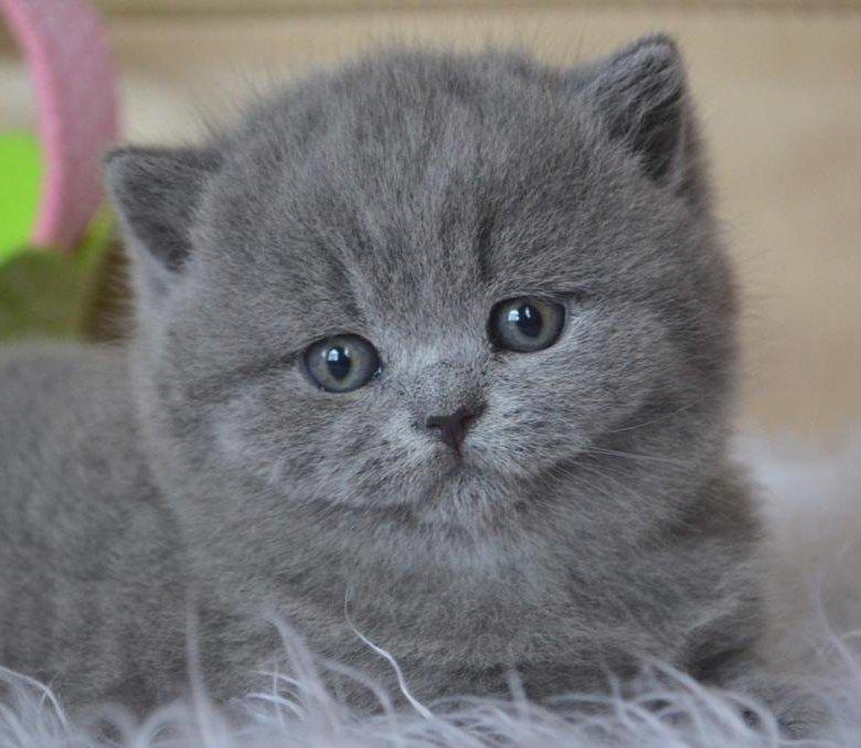 британские кошки медвежьего типа фото этом телепроекте