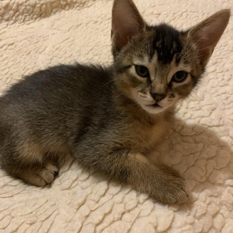 гипсокартона стене метисы абиссинской кошки фото фото шиншиллы