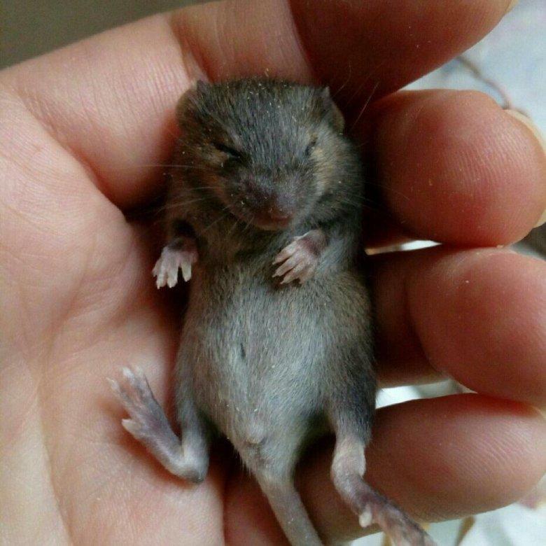 фото мышки бегунок пэт