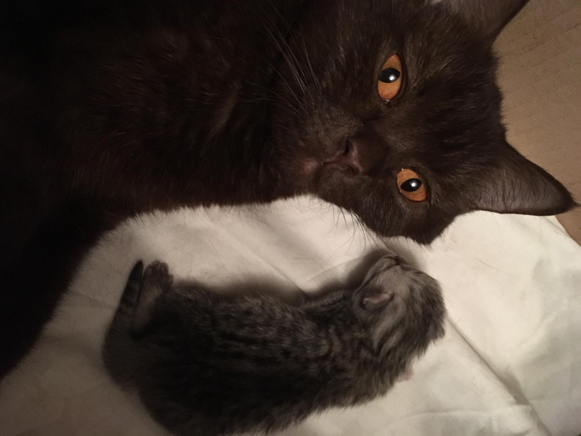Кошка напрокат (на новоселье) купить 2