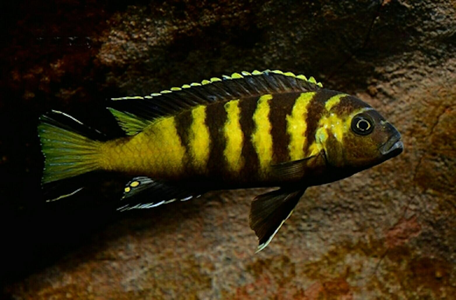 Divergent Selection During Speciation Of Lake Malawi Cichlid Fishes Inferred
