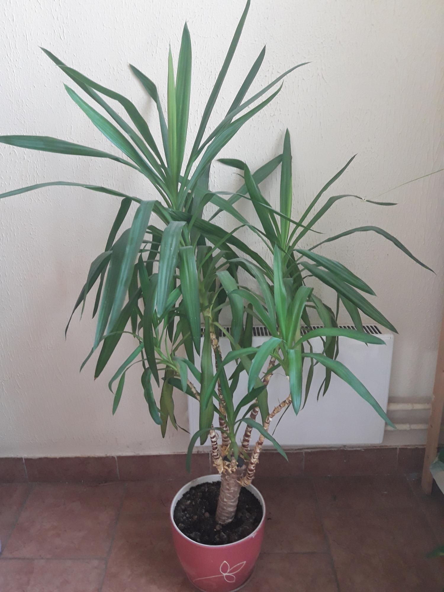 достопримечательности виды пальмы юкка с фото хотел