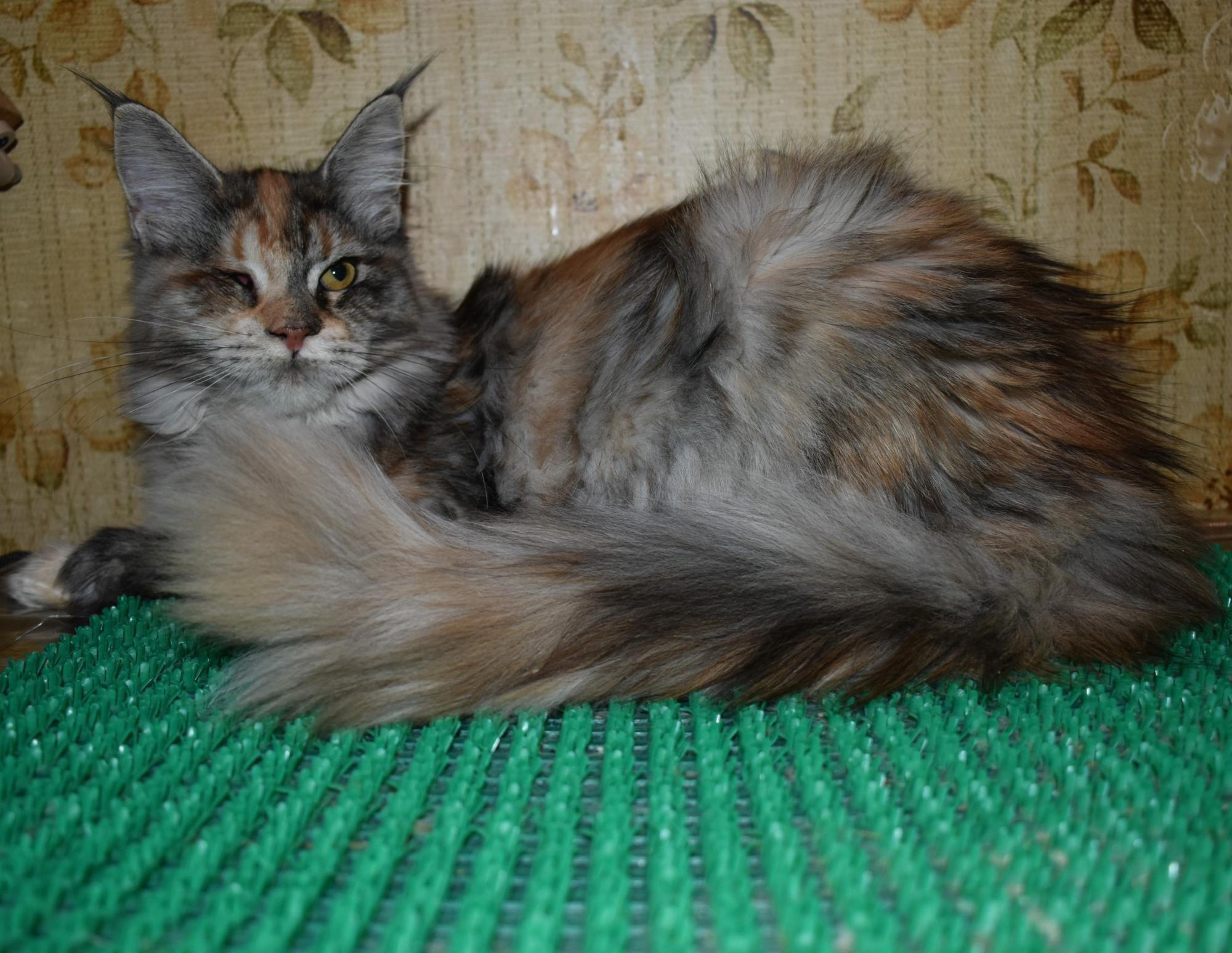 Кошечка Мейн-кун в Москве купить 1