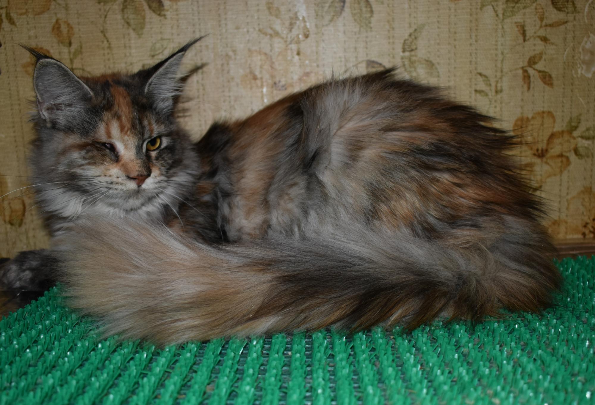 Кошечка Мейн-кун в Москве купить 2