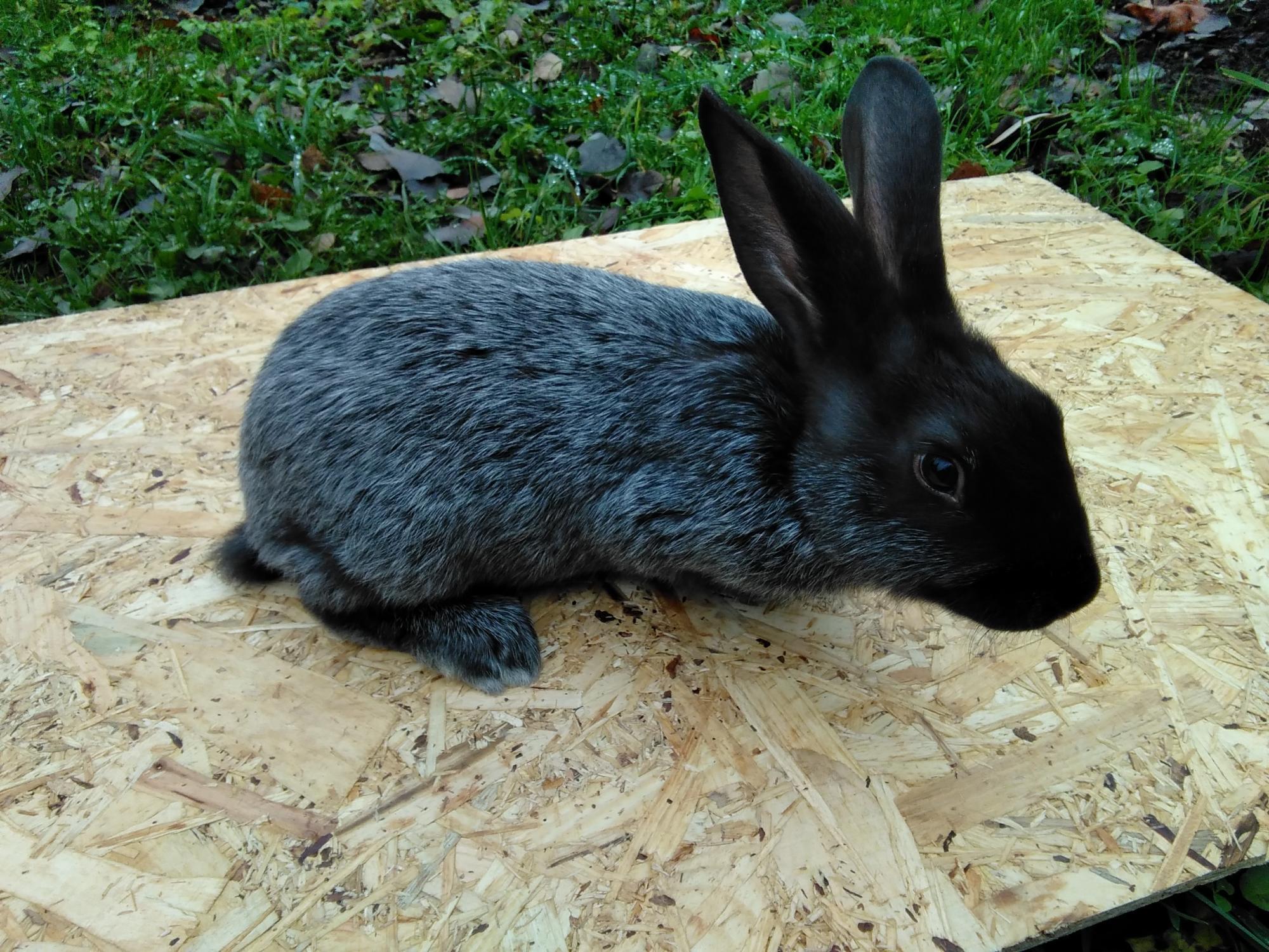 бронзовой свадьбой порода кроликов серебро с фото и описанием через