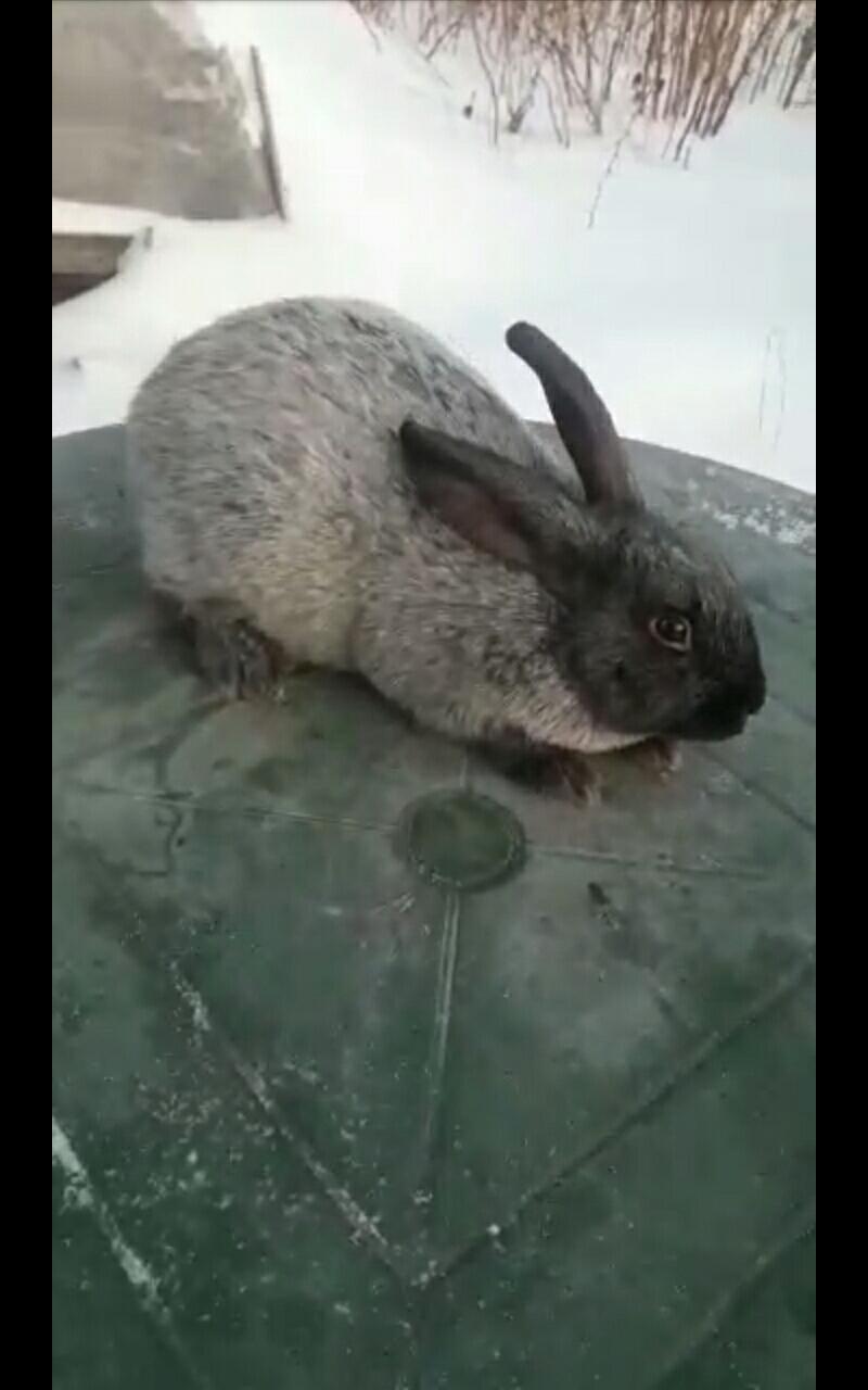 Кролики Полтавско серебро в Екатеринбурге 89530045003 купить 1