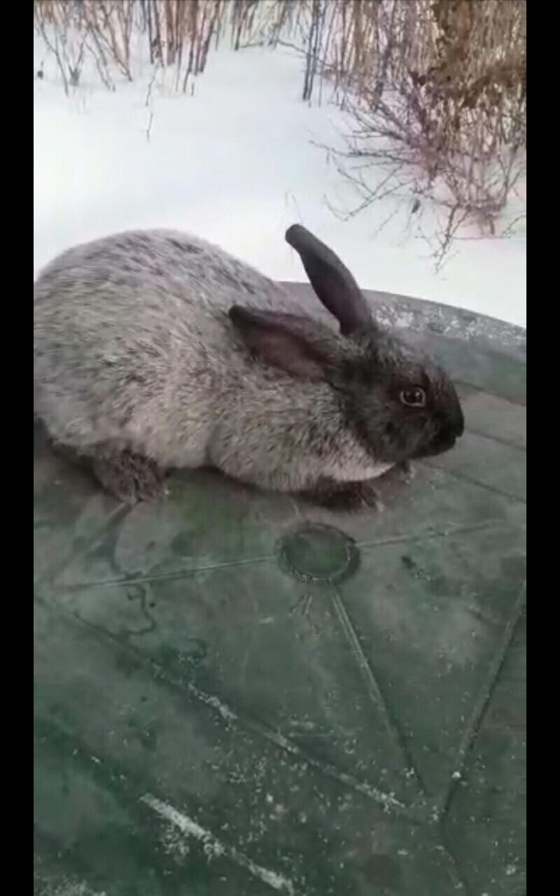 Кролики Полтавско серебро в Екатеринбурге 89530045003 купить 3