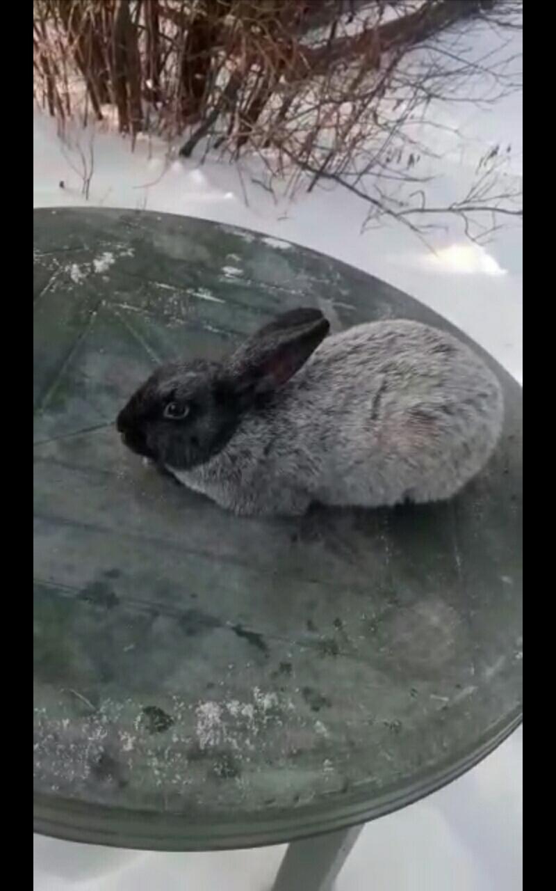 Кролики Полтавско серебро в Екатеринбурге 89530045003 купить 4