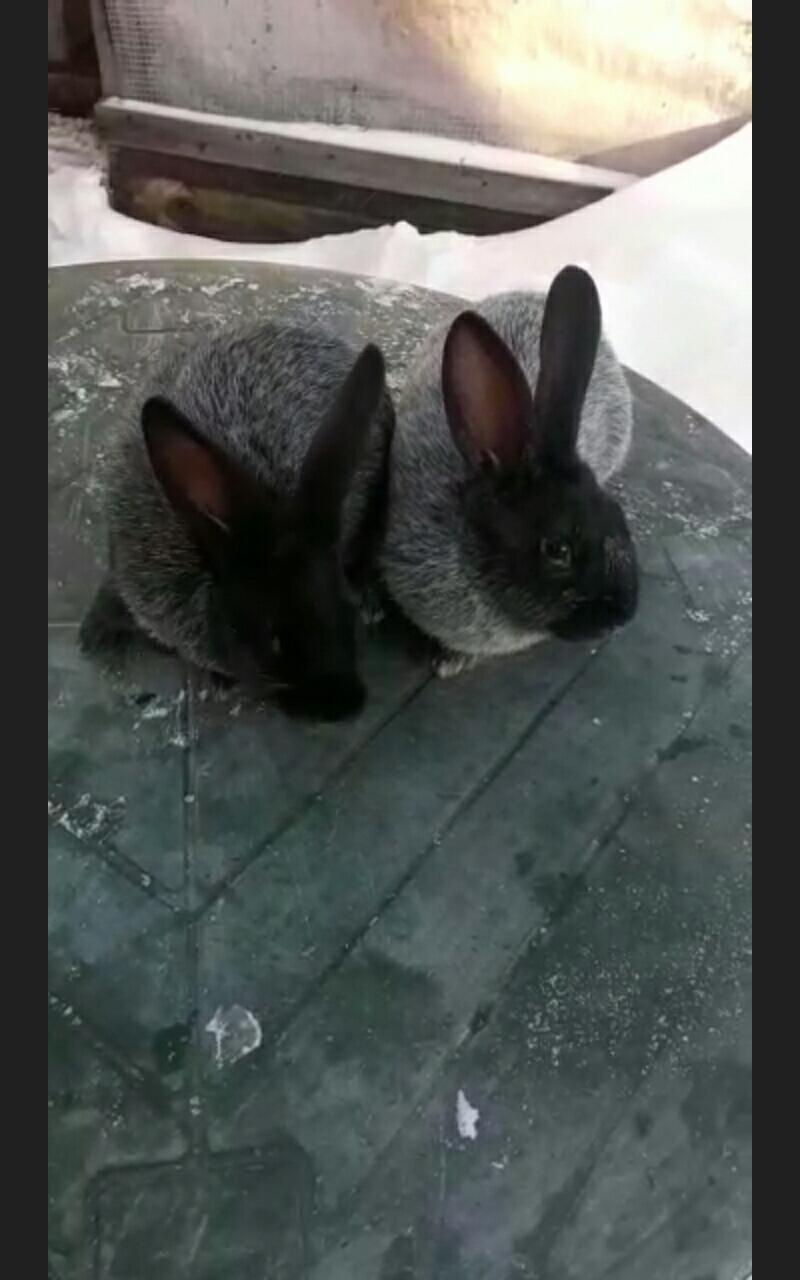 Кролики Полтавско серебро в Екатеринбурге 89530045003 купить 5