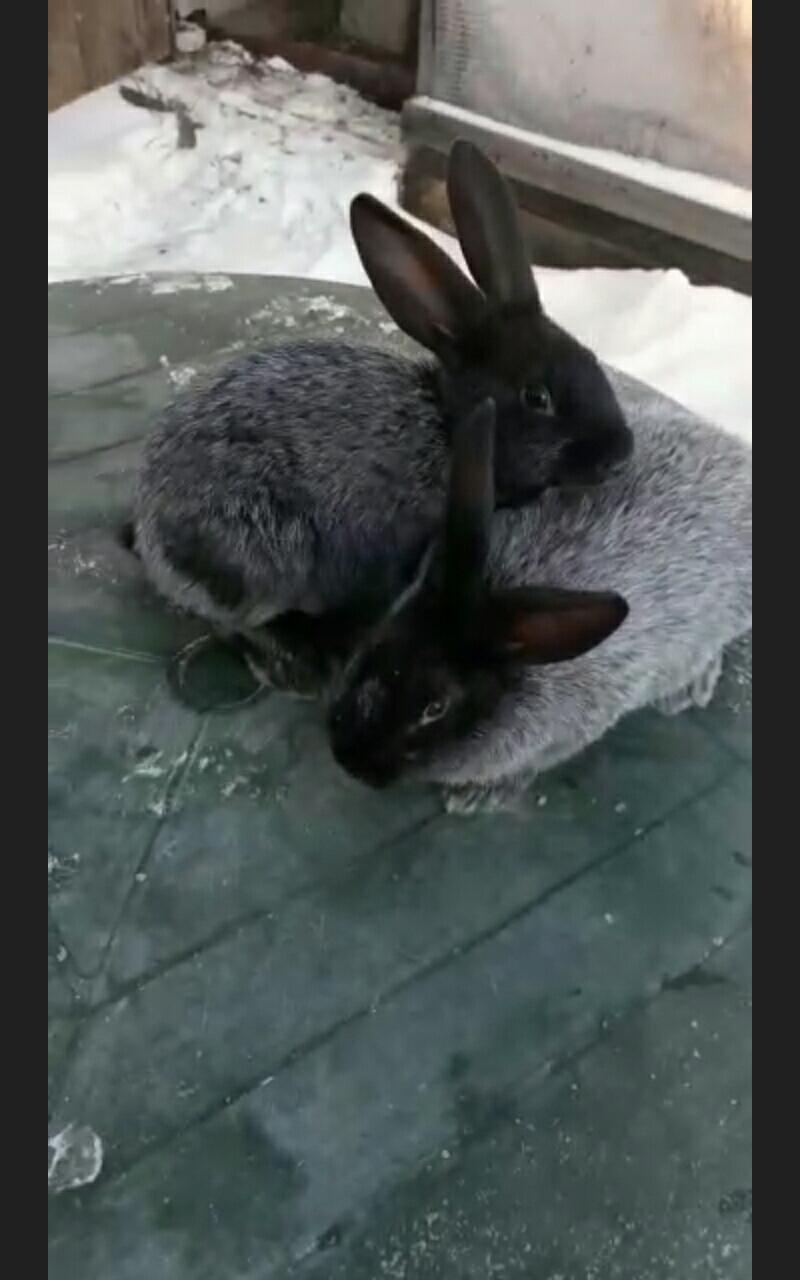 Кролики Полтавско серебро в Екатеринбурге 89530045003 купить 6