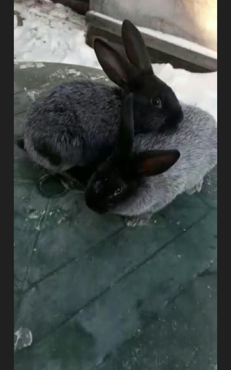 Кролики Полтавско серебро в Екатеринбурге 89530045003 купить 8