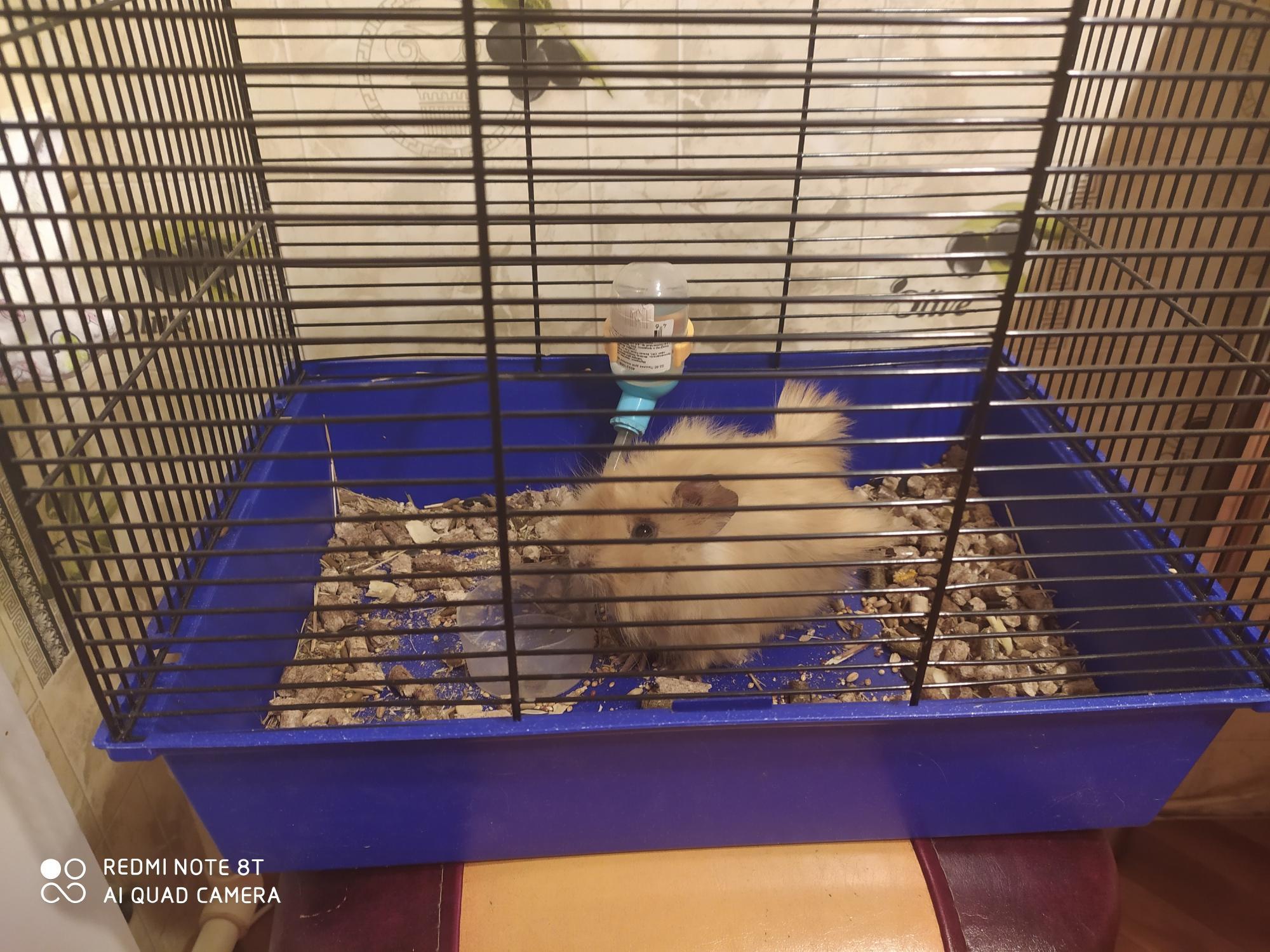 Морская свинка с клеткой в Североуральске 89002058586 купить 2
