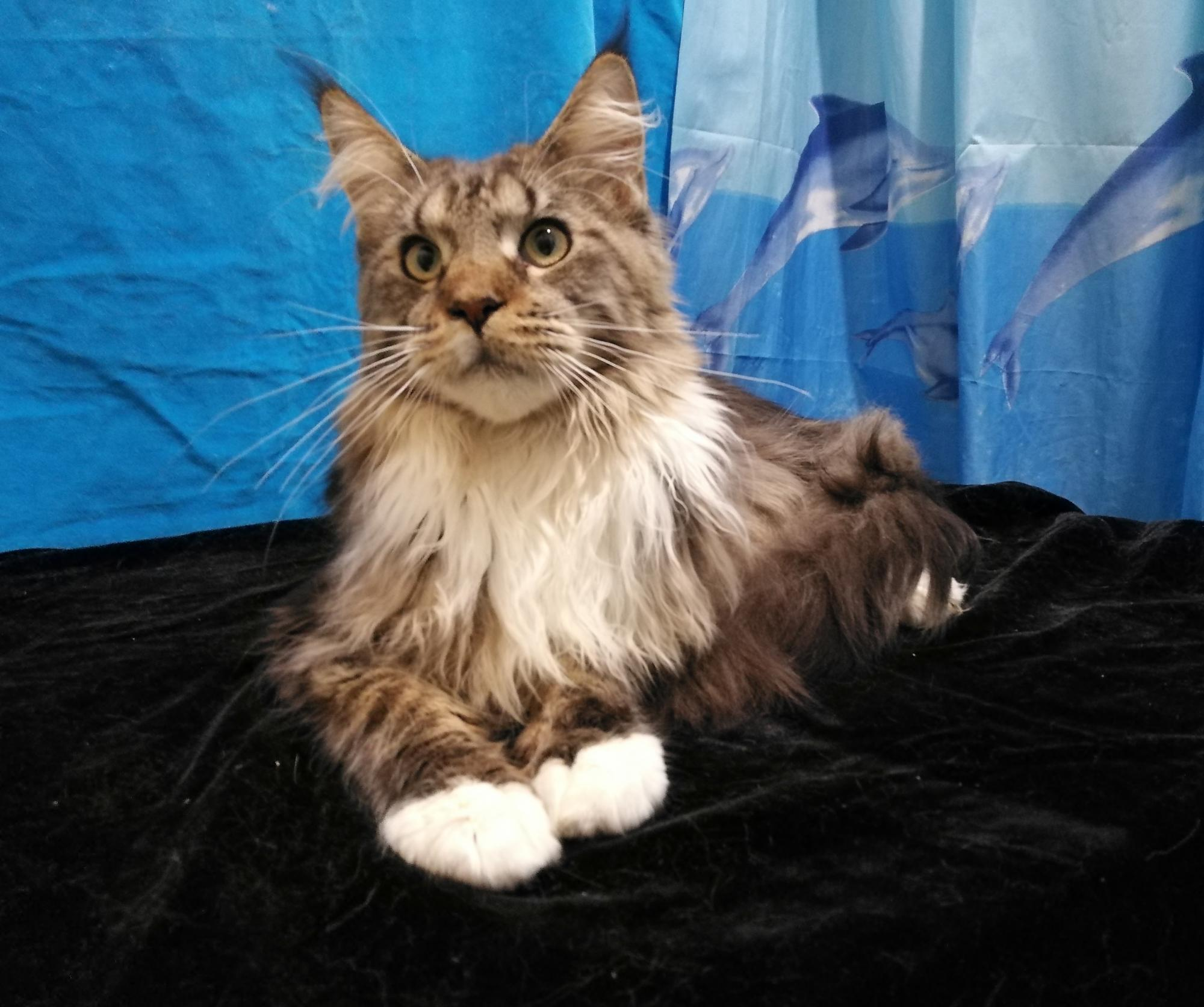 Cat Maine Coon in Moscow buy 3