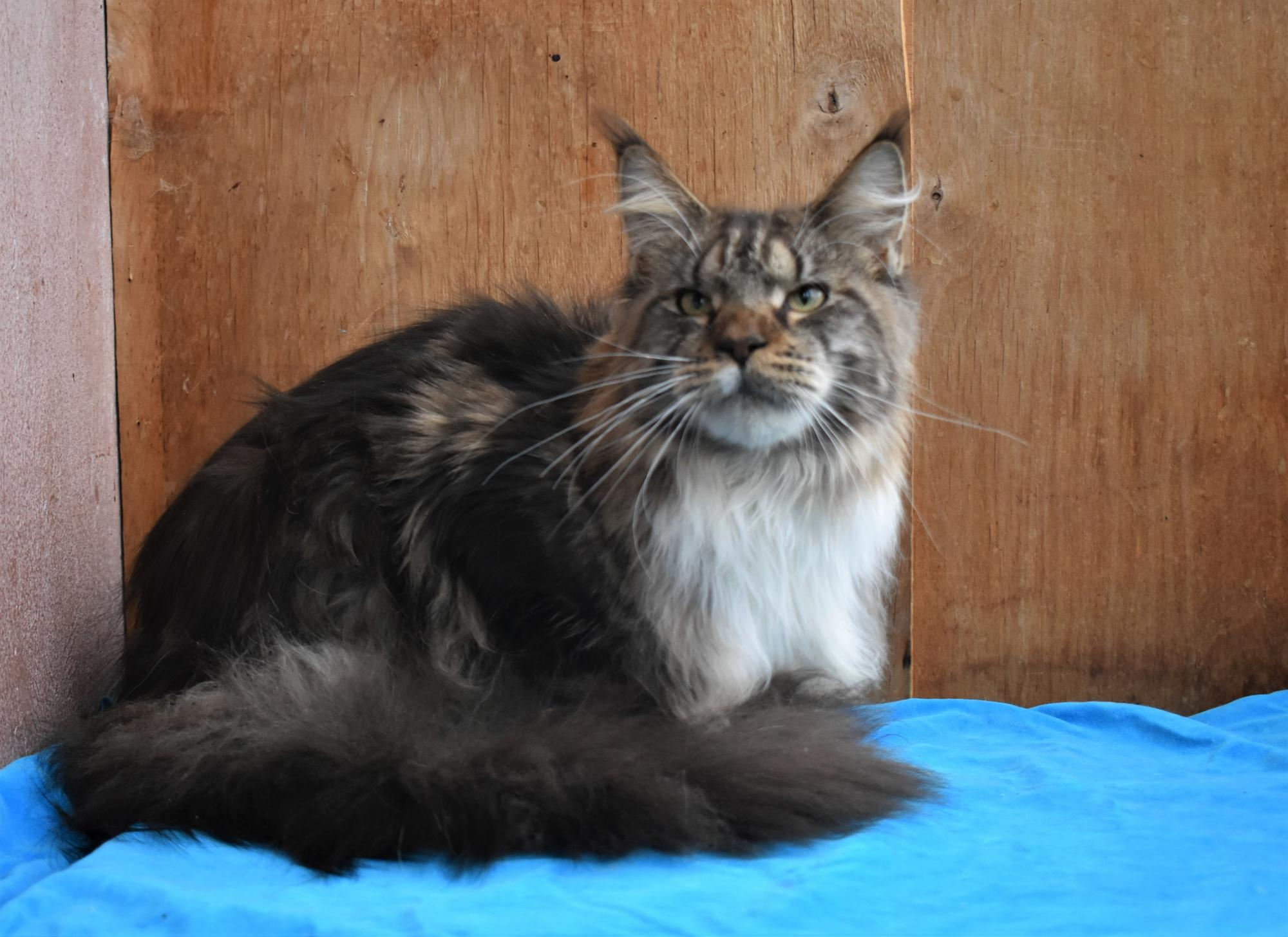 Cat Maine Coon in Moscow buy 1