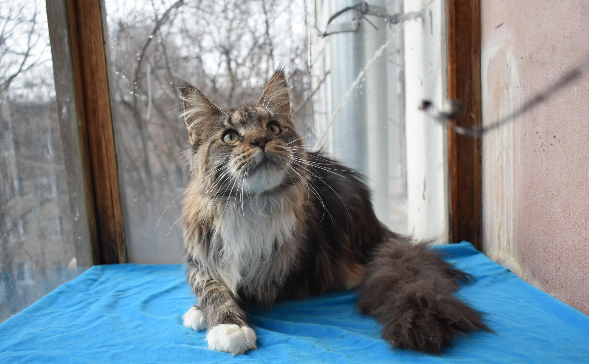 Cat Maine Coon in Moscow buy 2