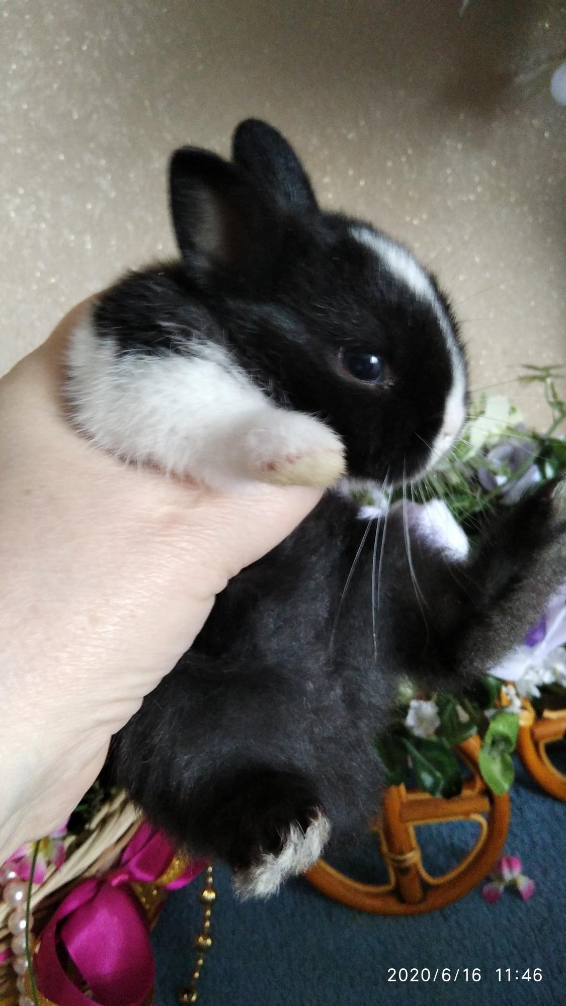 Карликовый кролик. 15 крольчат в Москве 89096498393 купить 1