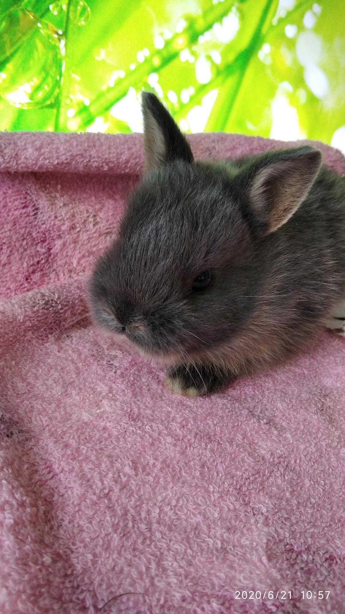 Карликовый кролик. 15 крольчат в Москве 89096498393 купить 2