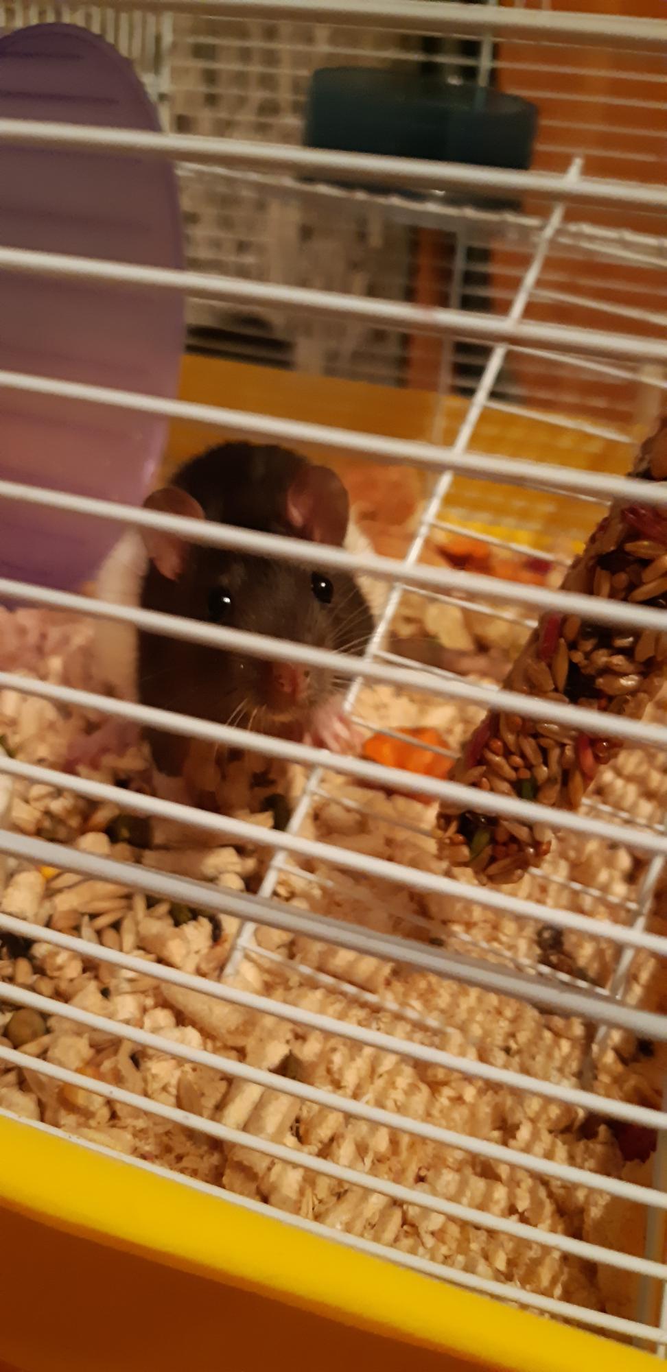Отдам крысу 4 месяца. в Балашихе 89004310534 купить 1