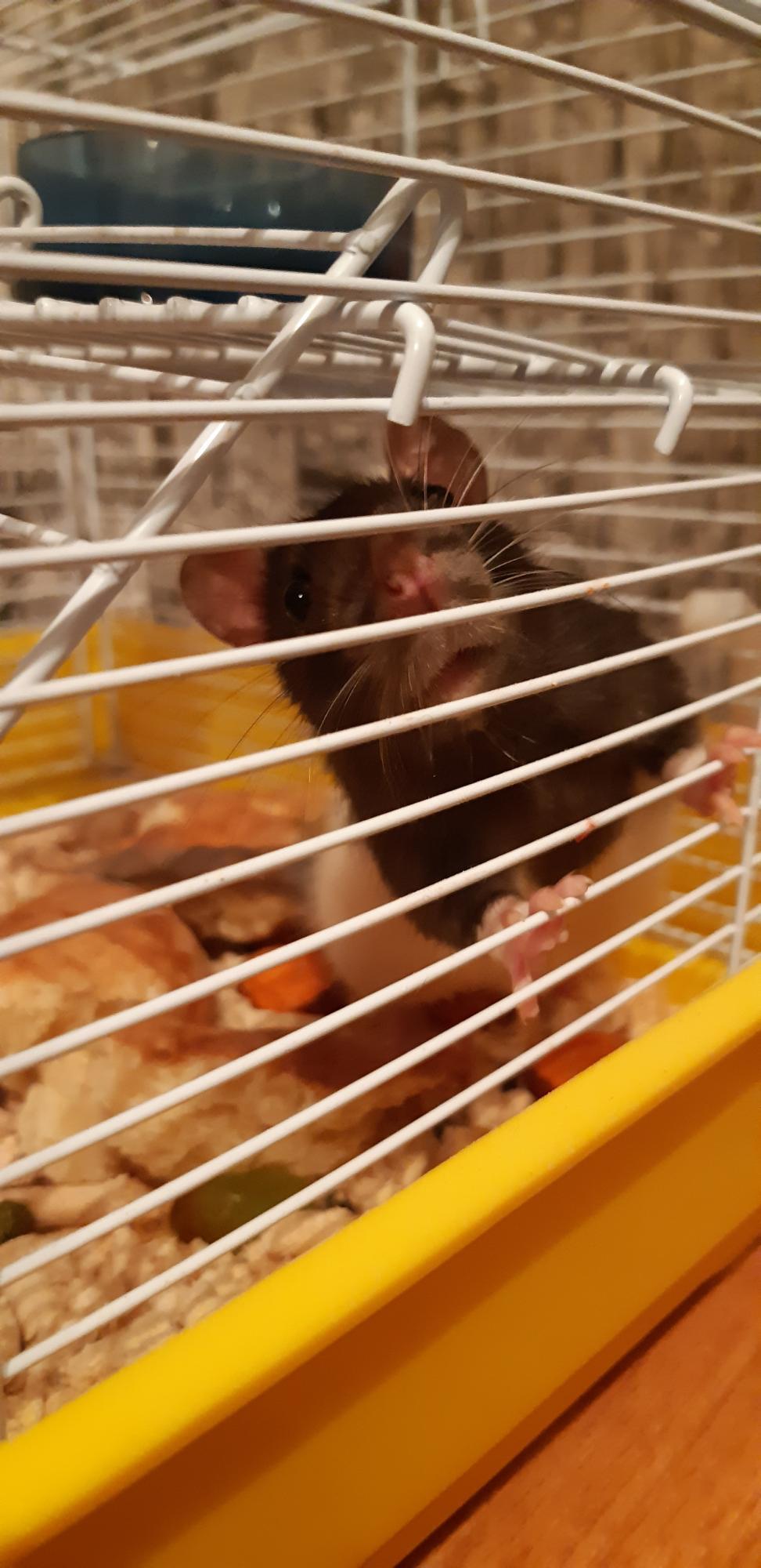Отдам крысу 4 месяца. в Балашихе 89004310534 купить 3